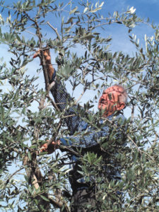 Olje fra Veroli - innhøsting av oliven i Veroli