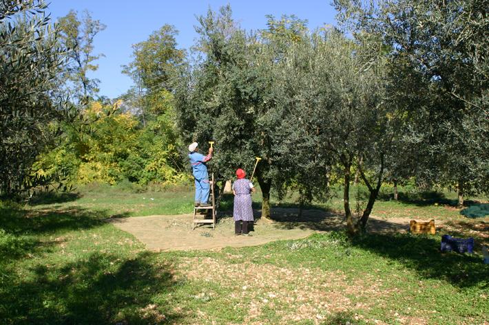 Innhøsting av oliven i Veroli - olivenene håndplukkes og presse til olje samme dag