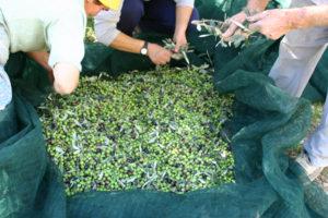 Oliven fra Veroli blir til olje fra Veroli - olivenolje fra Quattrociocchi